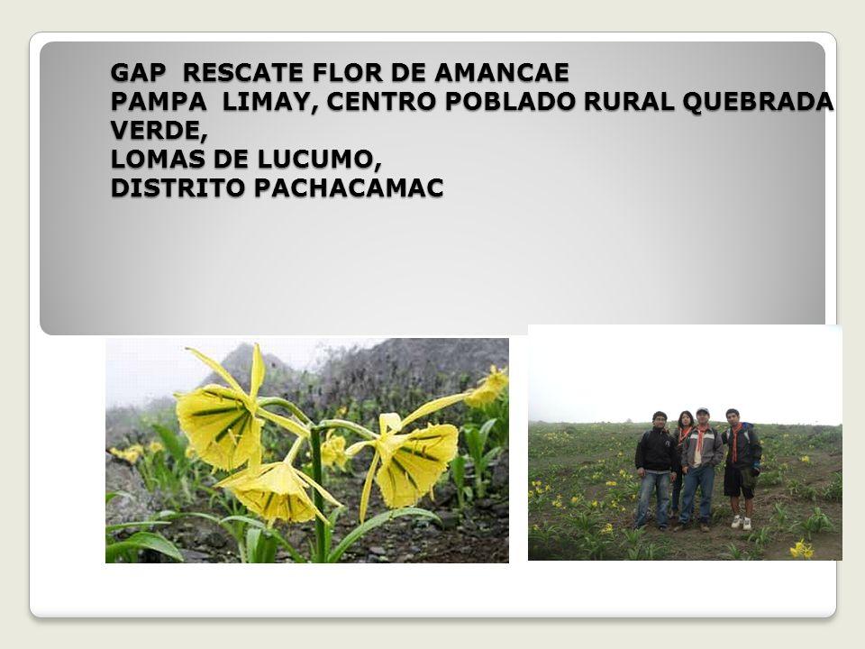 La flor de Amancae hoy solo se reportan en 4 lomas, Lomas de Villa Maria, Lomas de Lúcumo, Lomas de Pachacamac y Lomas de Asia.