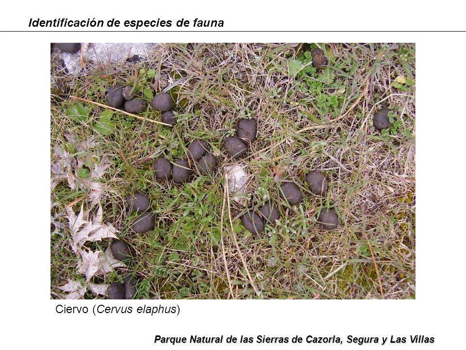 Identificación de especies de fauna Parque Natural de las Sierras de Cazorla, Segura y Las Villas Ciervo (Cervus elaphus)