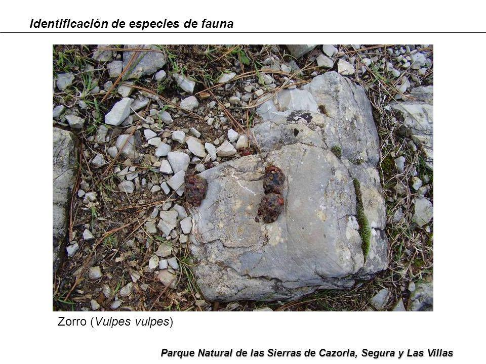 Identificación de especies de fauna Parque Natural de las Sierras de Cazorla, Segura y Las Villas Zorro (Vulpes vulpes)