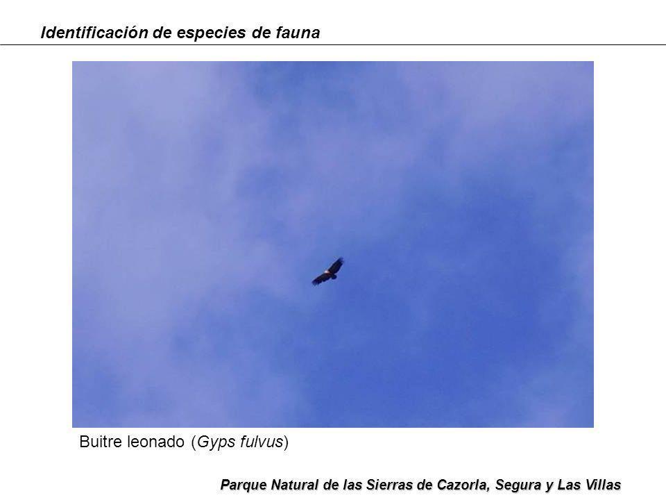 Identificación de especies de fauna Parque Natural de las Sierras de Cazorla, Segura y Las Villas Gamo (Dama dama)