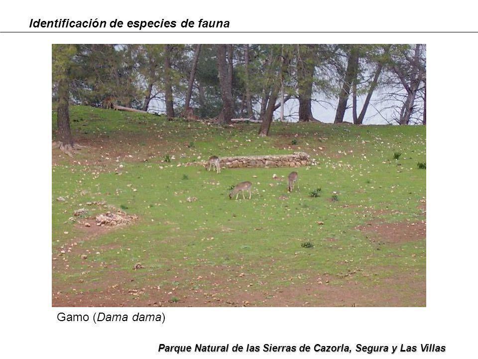 Identificación de especies de fauna Parque Natural de las Sierras de Cazorla, Segura y Las Villas Cabra montés (Capra pyrenaica)