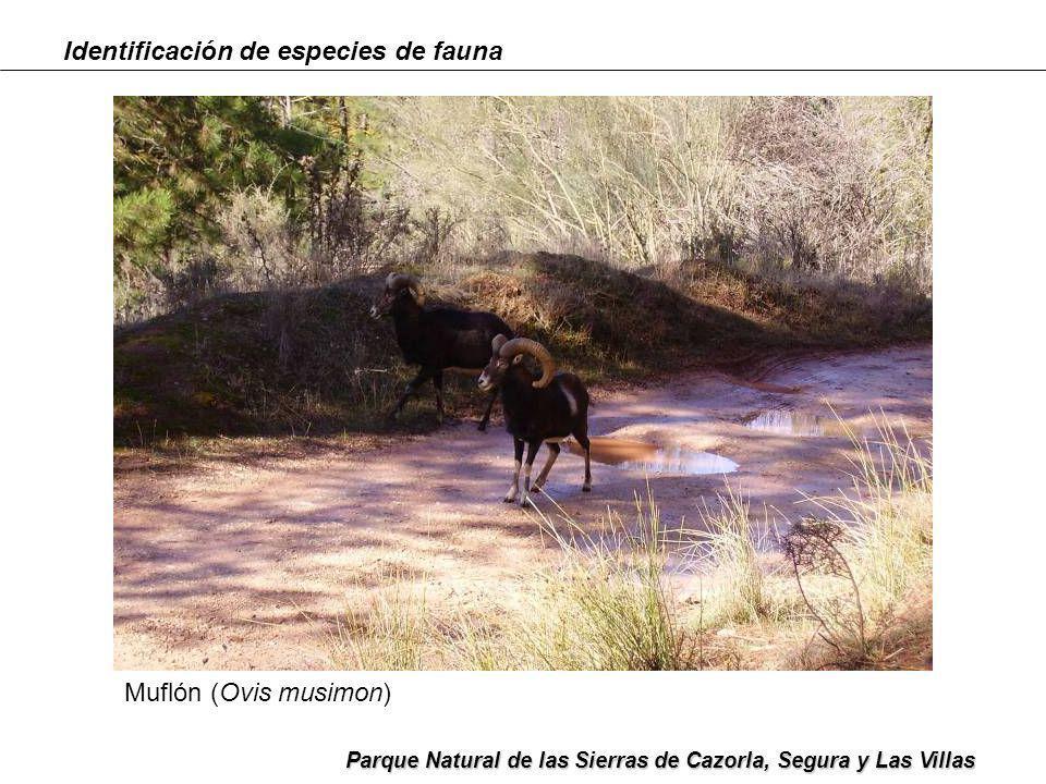 Identificación de especies de fauna Parque Natural de las Sierras de Cazorla, Segura y Las Villas Muflón (Ovis musimon)