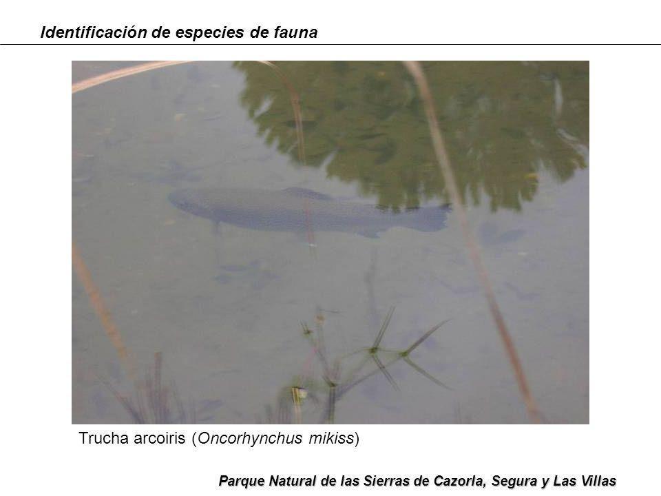 Identificación de especies de fauna Parque Natural de las Sierras de Cazorla, Segura y Las Villas Procesionaria (Thaumetopoea pityocampa )