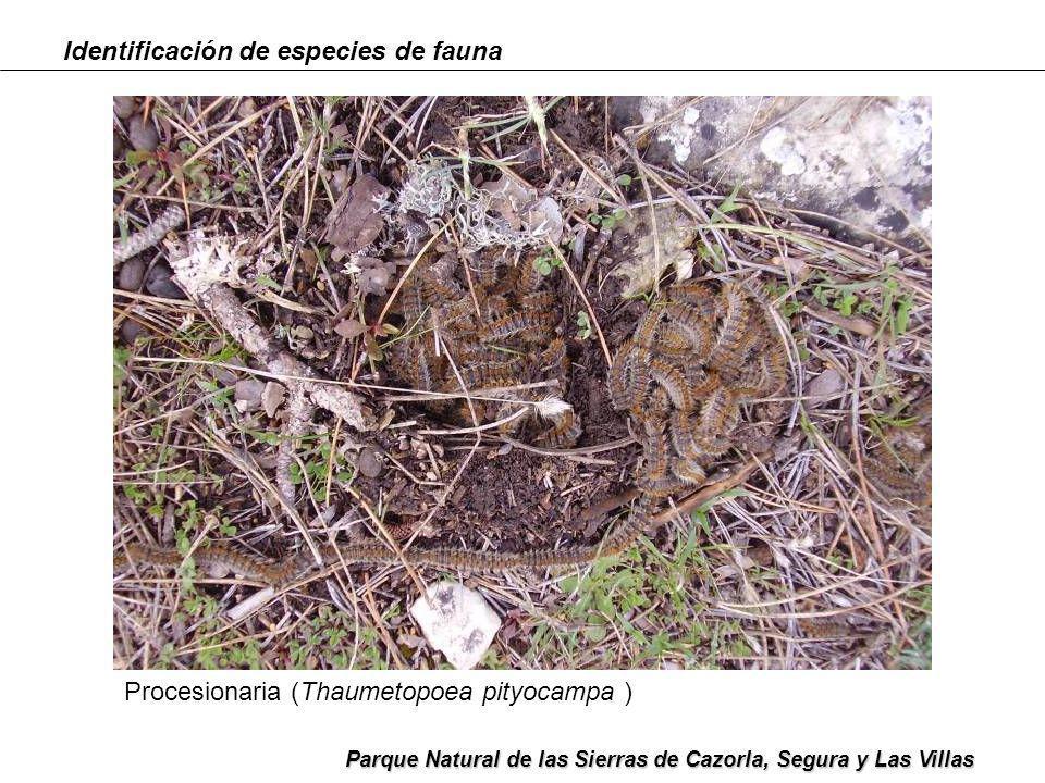 Identificación de especies de fauna Parque Natural de las Sierras de Cazorla, Segura y Las Villas Escarabajo pelotero (Geotrupes stercorarius )