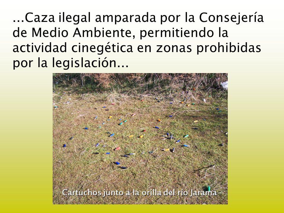 ...Caza ilegal amparada por la Consejería de Medio Ambiente, permitiendo la actividad cinegética en zonas prohibidas por la legislación... Cartuchos j