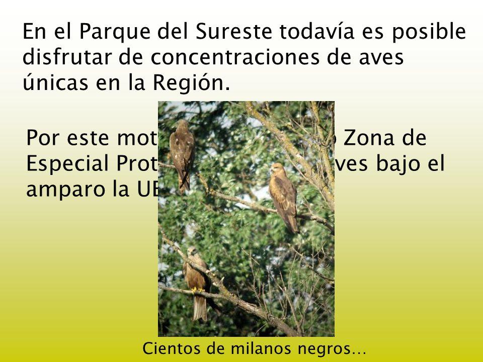 En el Parque del Sureste todavía es posible disfrutar de concentraciones de aves únicas en la Región. Por este motivo fue declarado Zona de Especial P