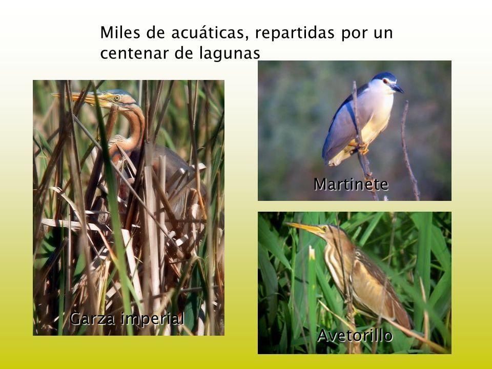 Miles de acuáticas, repartidas por un centenar de lagunas Garza imperial Martinete Avetorillo