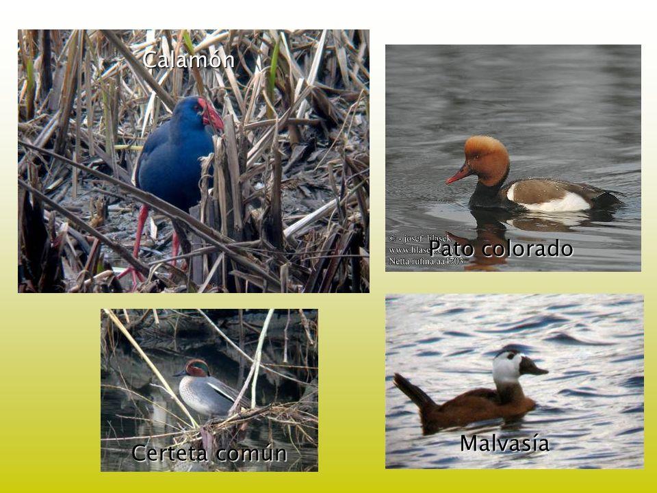 Pato colorado Calamón Certeta común Malvasía