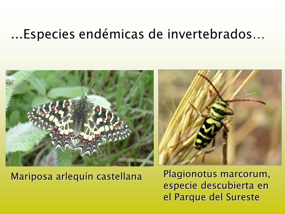...Especies endémicas de invertebrados… Plagionotus marcorum, especie descubierta en el Parque del Sureste Mariposa arlequín castellana
