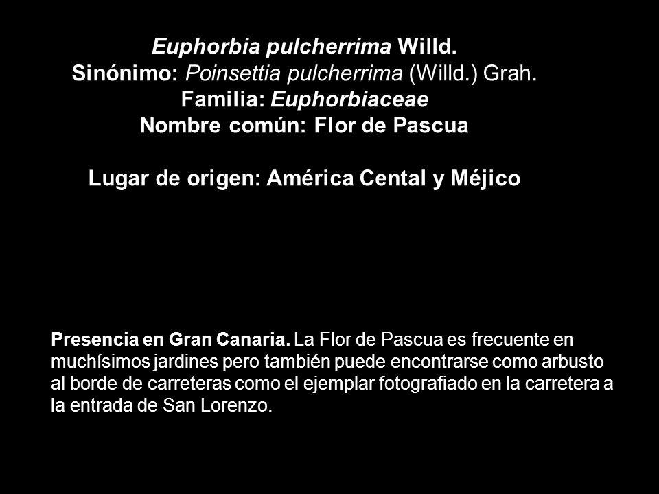Euphorbia pulcherrima Willd. Sinónimo: Poinsettia pulcherrima (Willd.) Grah. Familia: Euphorbiaceae Nombre común: Flor de Pascua Lugar de origen: Amér