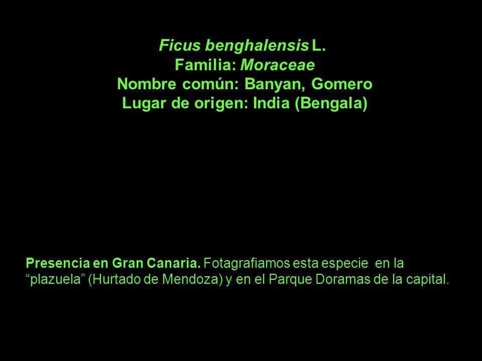 Ficus benghalensis L. Familia: Moraceae Nombre común: Banyan, Gomero Lugar de origen: India (Bengala) Presencia en Gran Canaria. Fotagrafiamos esta es