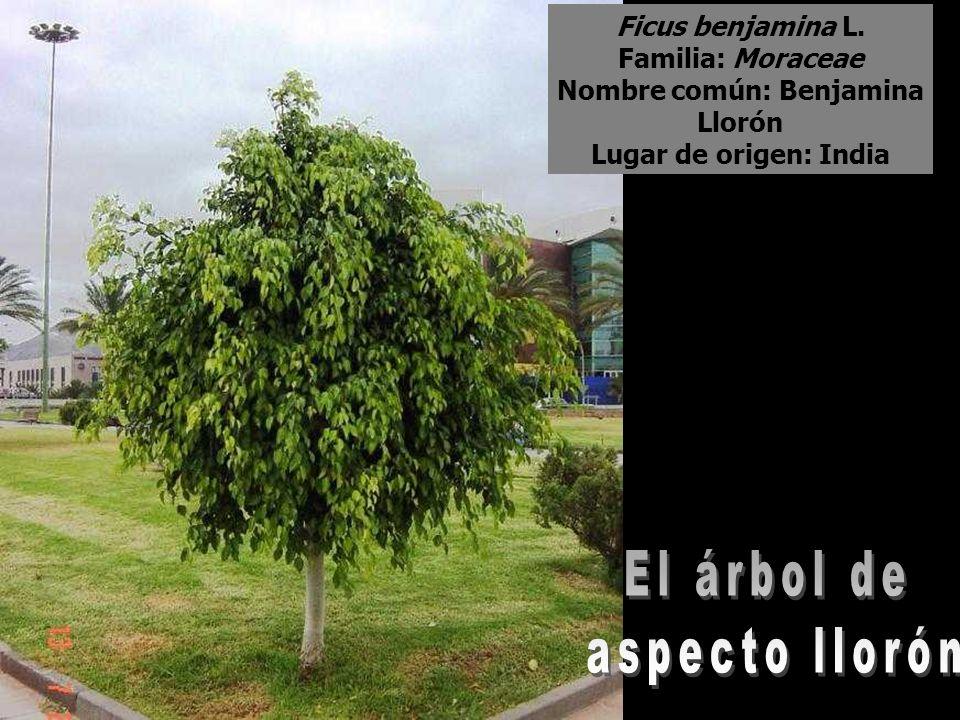 Ficus benjamina L. Familia: Moraceae Nombre común: Benjamina Llorón Lugar de origen: India