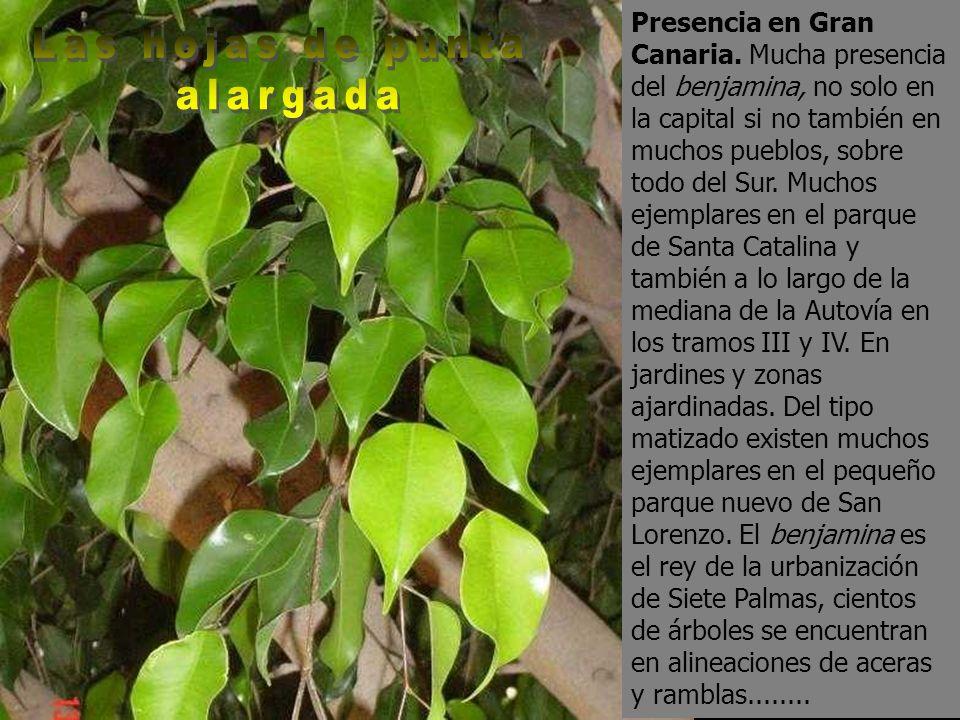 Presencia en Gran Canaria. Mucha presencia del benjamina, no solo en la capital si no también en muchos pueblos, sobre todo del Sur. Muchos ejemplares