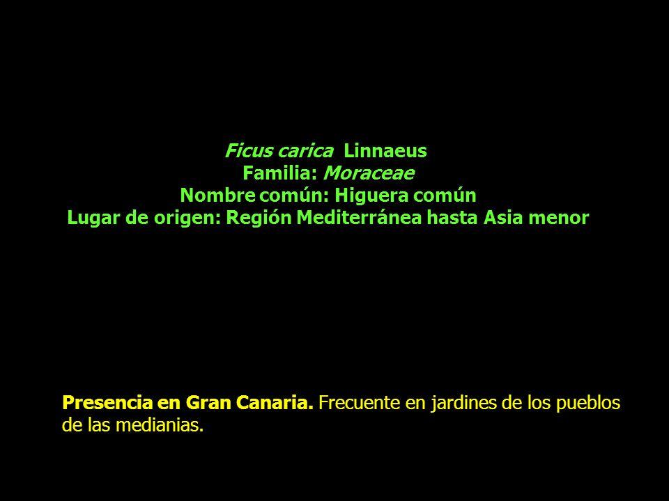 Ficus carica Linnaeus Familia: Moraceae Nombre común: Higuera común Lugar de origen: Región Mediterránea hasta Asia menor Presencia en Gran Canaria. F
