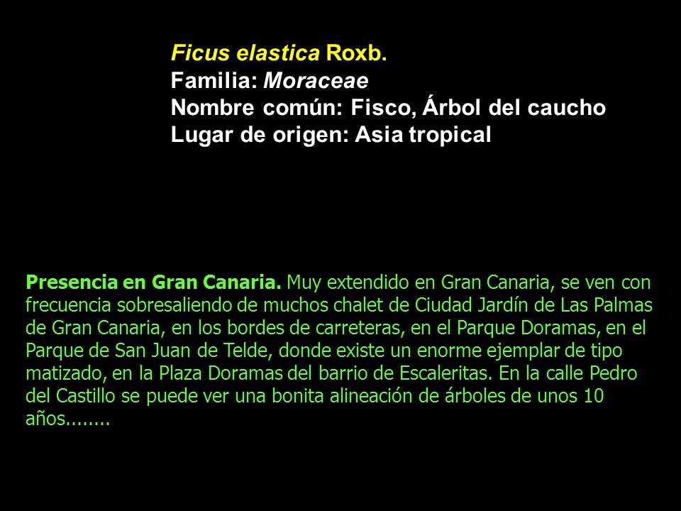 Ficus elastica Roxb. Familia: Moraceae Nombre común: Fisco, Árbol del caucho Lugar de origen: Asia tropical Presencia en Gran Canaria. Muy extendido e