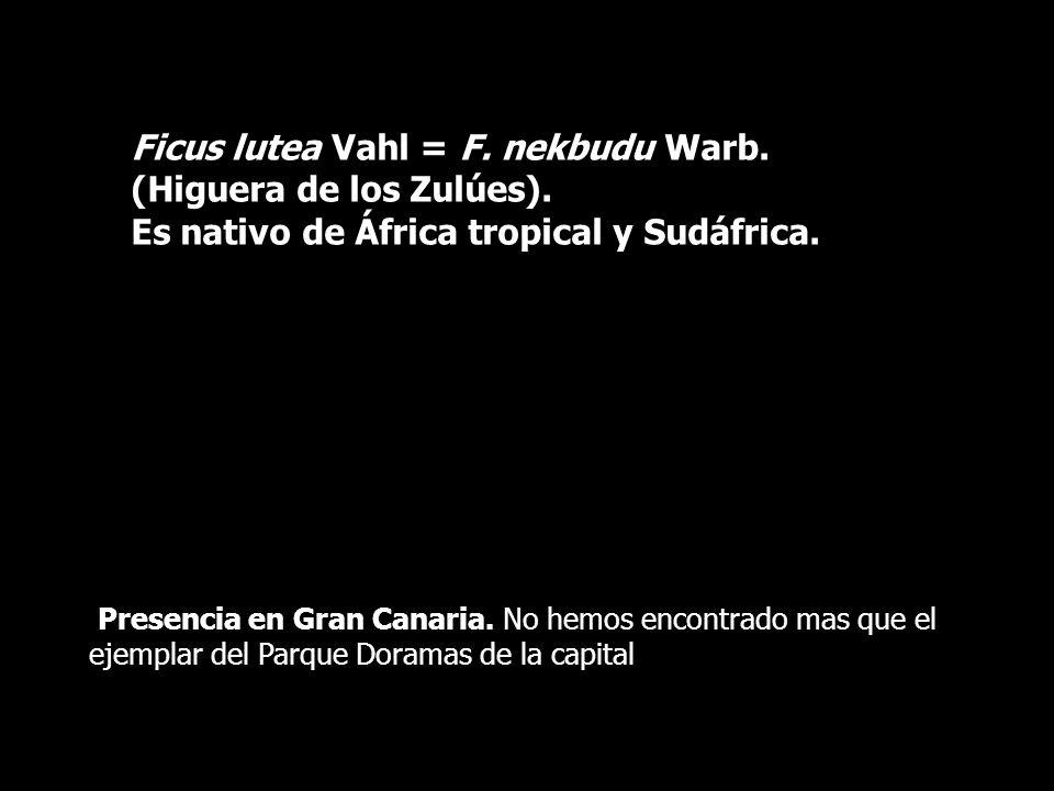 Ficus lutea Vahl = F. nekbudu Warb. (Higuera de los Zulúes). Es nativo de África tropical y Sudáfrica. Presencia en Gran Canaria. No hemos encontrado