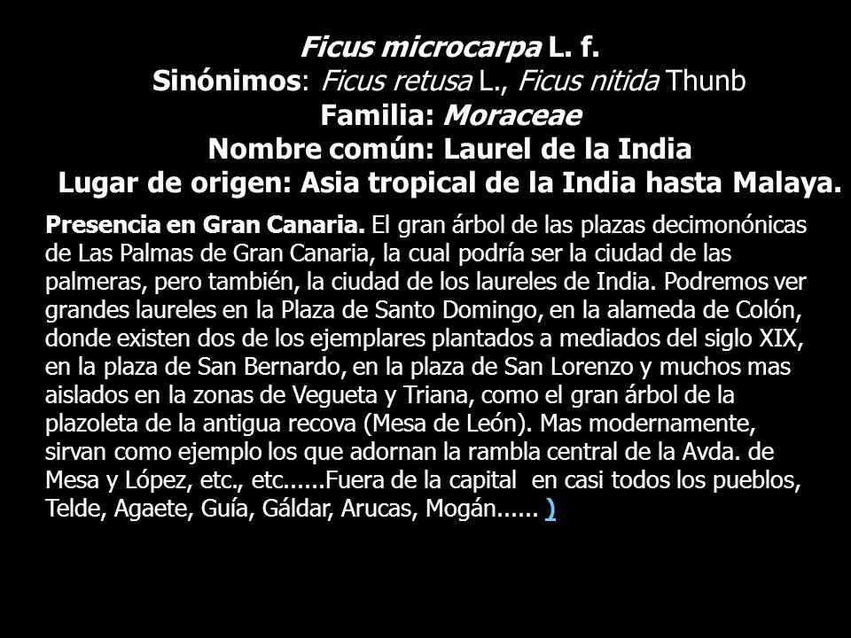 Ficus microcarpa L. f. Sinónimos: Ficus retusa L., Ficus nitida Thunb Familia: Moraceae Nombre común: Laurel de la India Lugar de origen: Asia tropica