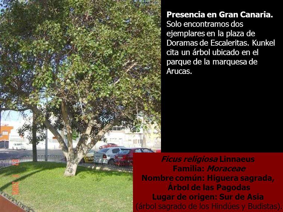 Ficus religiosa Linnaeus Familia: Moraceae Nombre común: Higuera sagrada, Árbol de las Pagodas Lugar de origen: Sur de Asia (árbol sagrado de los Hind