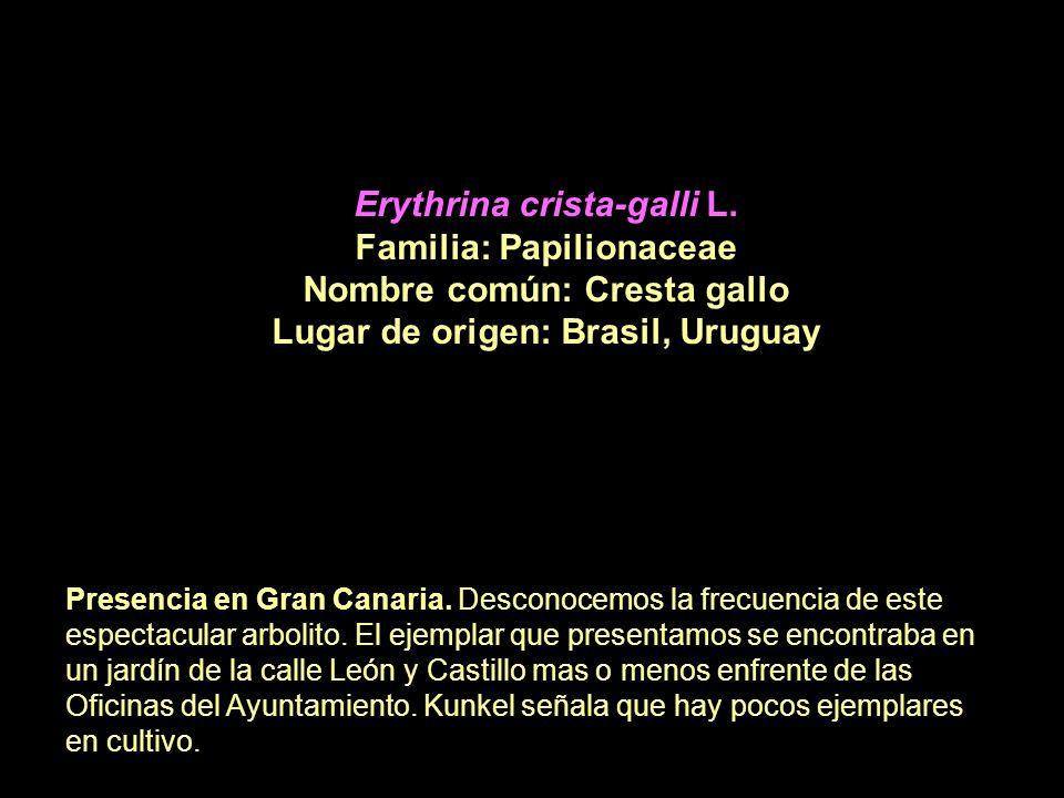 Erythrina crista-galli L. Familia: Papilionaceae Nombre común: Cresta gallo Lugar de origen: Brasil, Uruguay Presencia en Gran Canaria. Desconocemos l