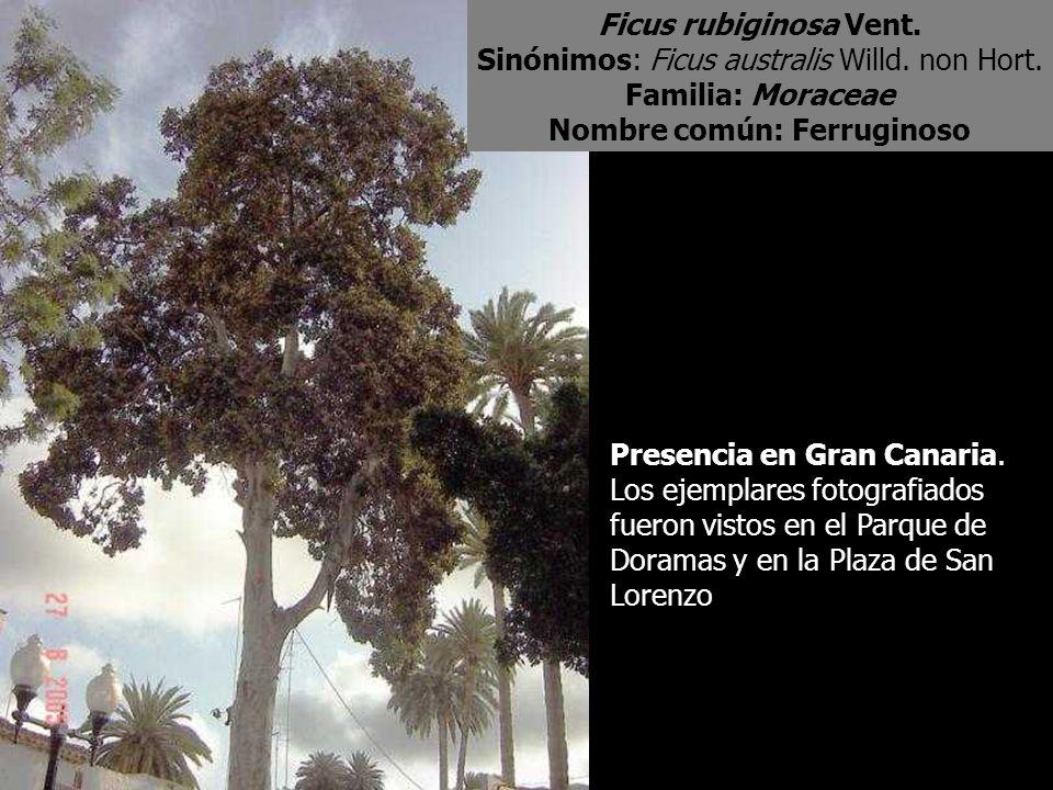 Ficus rubiginosa Vent. Sinónimos: Ficus australis Willd. non Hort. Familia: Moraceae Nombre común: Ferruginoso Presencia en Gran Canaria. Los ejemplar