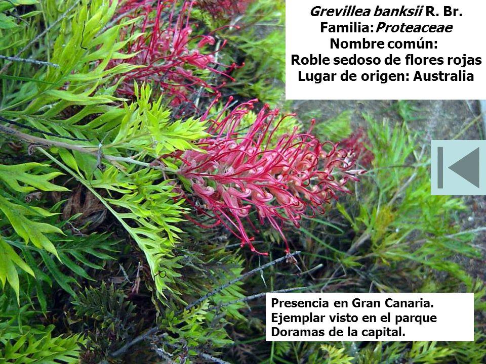Grevillea banksii R. Br. Familia:Proteaceae Nombre común: Roble sedoso de flores rojas Lugar de origen: Australia Presencia en Gran Canaria. Ejemplar