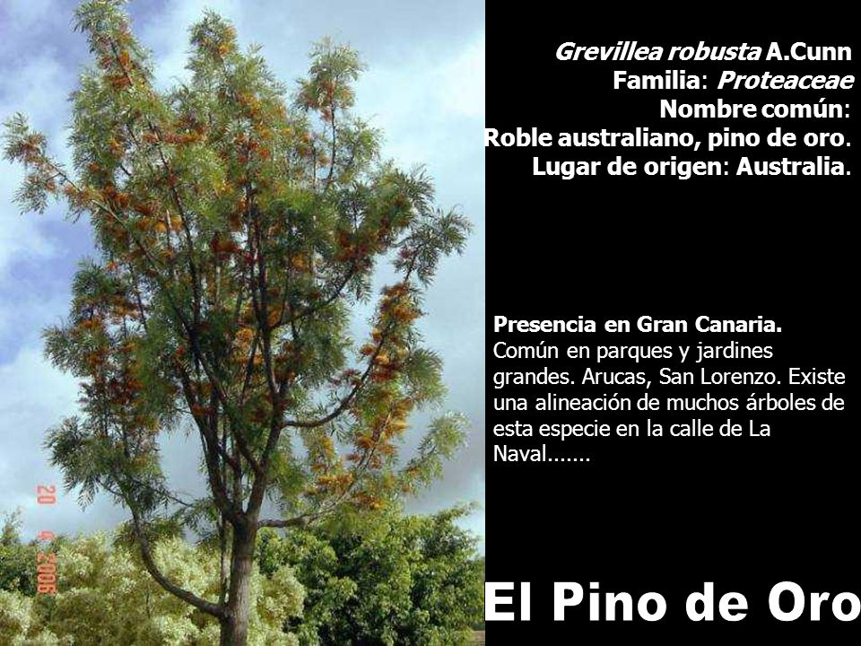 Grevillea robusta A.Cunn Familia: Proteaceae Nombre común: Roble australiano, pino de oro. Lugar de origen: Australia. Presencia en Gran Canaria. Comú