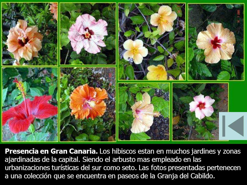 Presencia en Gran Canaria. Los hibiscos estan en muchos jardines y zonas ajardinadas de la capital. Siendo el arbusto mas empleado en las urbanizacion
