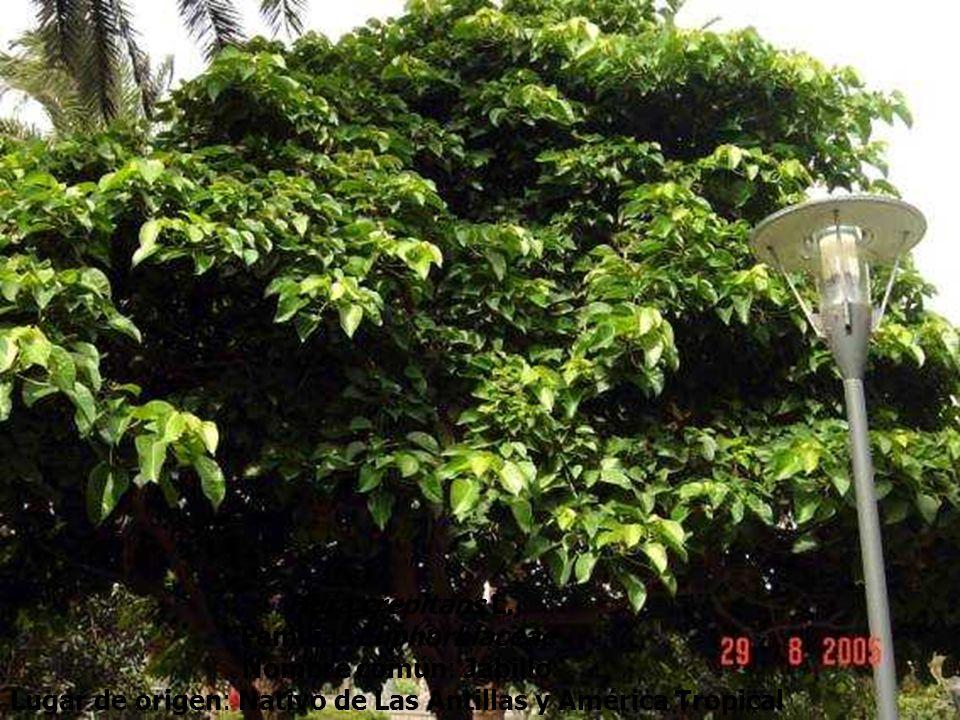 Hura crepitans L. Familia: Euphorbiaceae Nombre común: Jabillo Lugar de origen: Nativo de Las Antillas y América Tropical