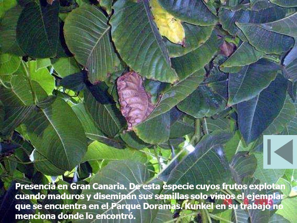Presencia en Gran Canaria. De esta especie cuyos frutos explotan cuando maduros y diseminan sus semillas solo vimos el ejemplar que se encuentra en el