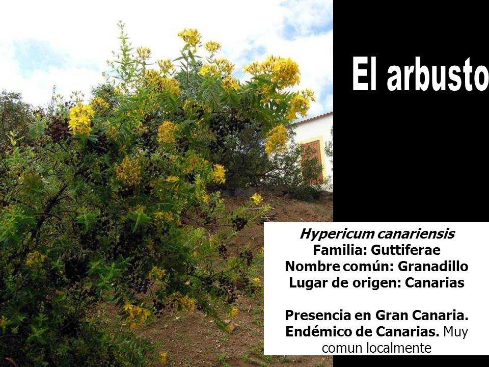 Hypericum canariensis Familia: Guttiferae Nombre común: Granadillo Lugar de origen: Canarias Presencia en Gran Canaria. Endémico de Canarias. Muy comu