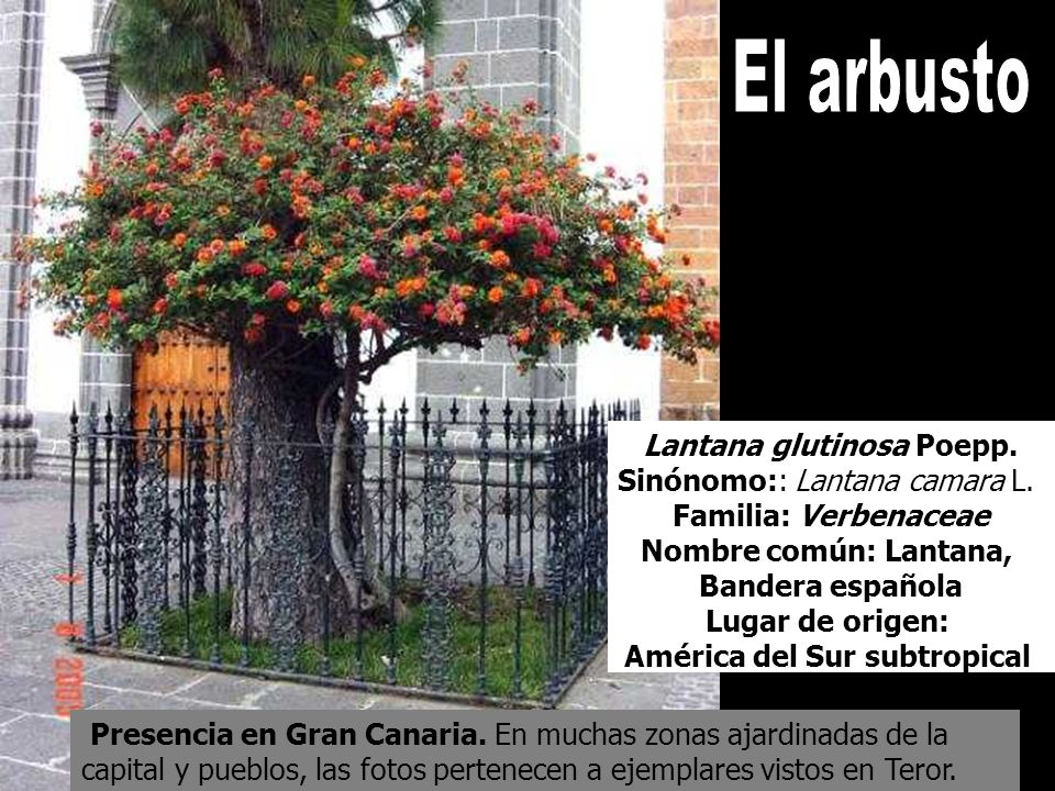 Presencia en Gran Canaria. En muchas zonas ajardinadas de la capital y pueblos, las fotos pertenecen a ejemplares vistos en Teror. Lantana glutinosa P