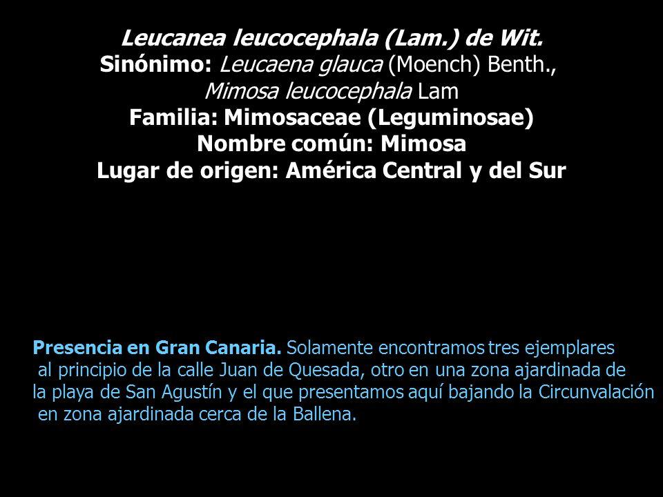 Leucanea leucocephala (Lam.) de Wit. Sinónimo: Leucaena glauca (Moench) Benth., Mimosa leucocephala Lam Familia: Mimosaceae (Leguminosae) Nombre común
