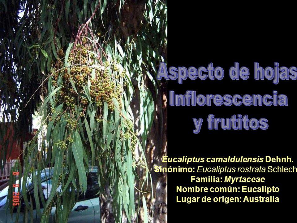 Eucaliptus camaldulensis Dehnh. Sinónimo: Eucaliptus rostrata Schlecht. Familia: Myrtaceae Nombre común: Eucalipto Lugar de origen: Australia