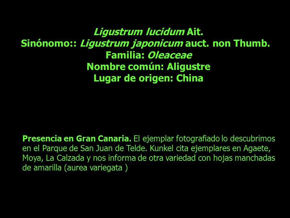 Ligustrum lucidum Ait. Sinónomo:: Ligustrum japonicum auct. non Thumb. Familia: Oleaceae Nombre común: Aligustre Lugar de origen: China Presencia en G