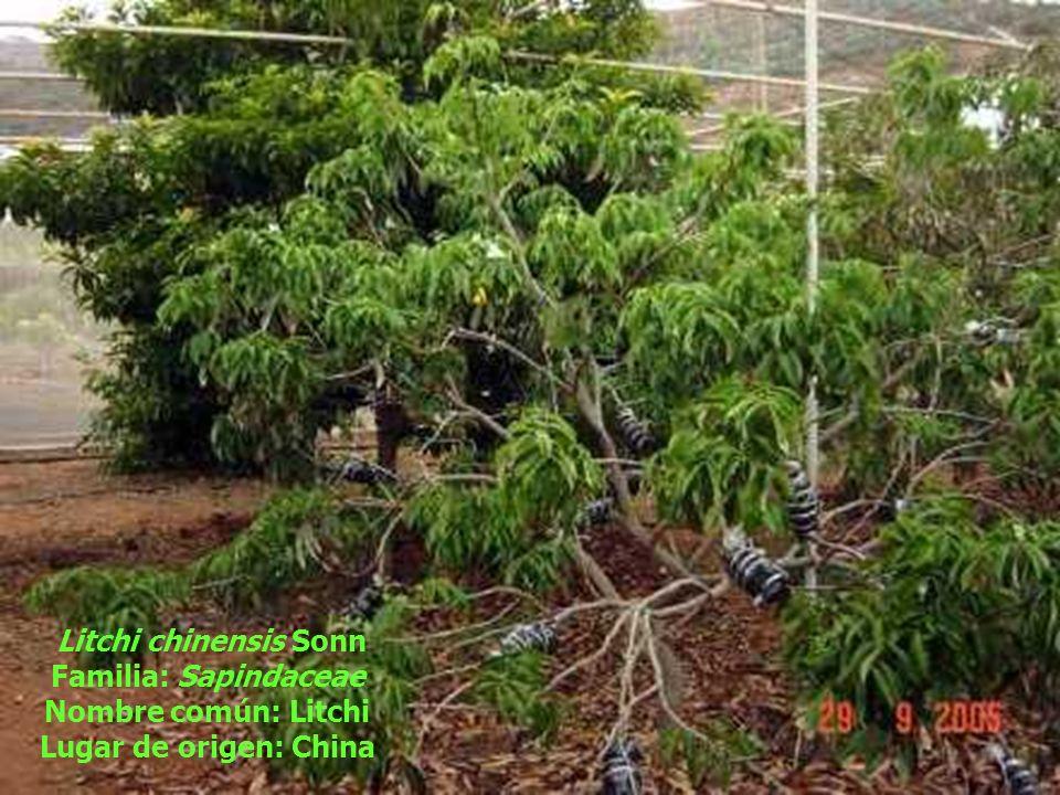 Litchi chinensis Sonn Familia: Sapindaceae Nombre común: Litchi Lugar de origen: China
