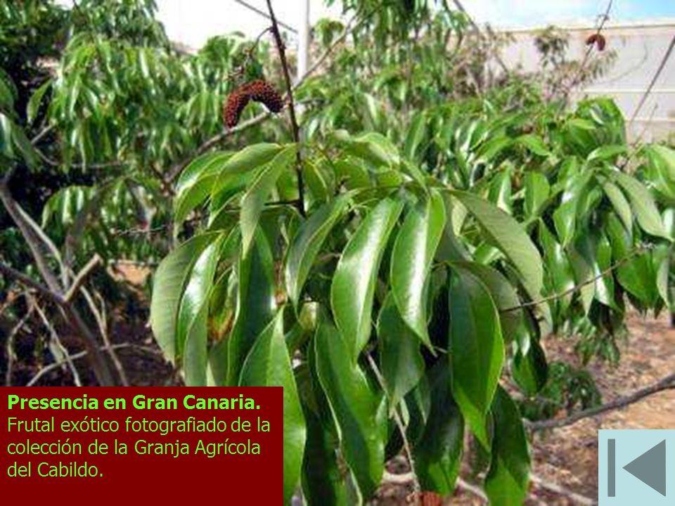 Presencia en Gran Canaria. Frutal exótico fotografiado de la colección de la Granja Agrícola del Cabildo.