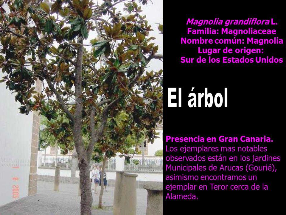 Magnolia grandiflora L. Familia: Magnoliaceae Nombre común: Magnolia Lugar de origen: Sur de los Estados Unidos Presencia en Gran Canaria. Los ejempla