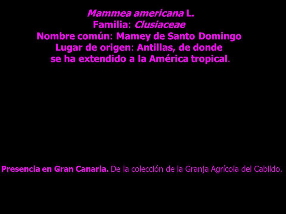 Mammea americana L. Familia: Clusiaceae Nombre común: Mamey de Santo Domingo Lugar de origen: Antillas, de donde se ha extendido a la América tropical