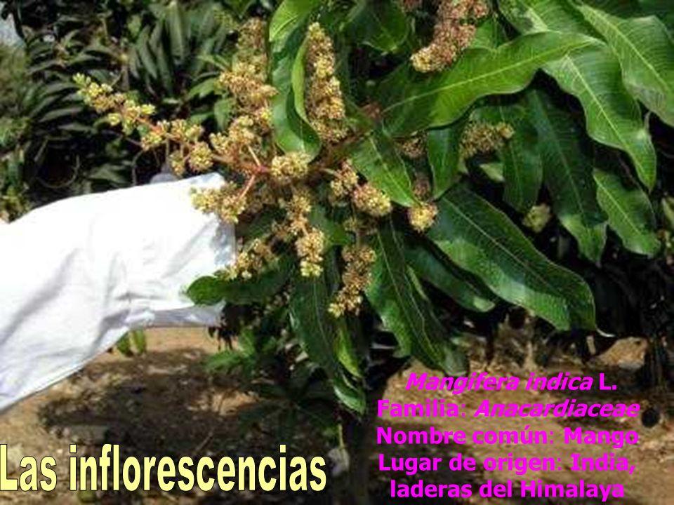 Mangifera indica L. Familia: Anacardiaceae Nombre común: Mango Lugar de origen: India, laderas del Himalaya