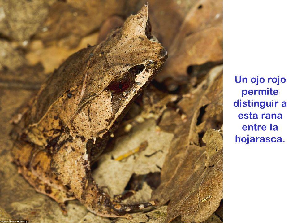 Esta katydida se confunde con el follaje que cubre el suelo en Costa Rica.
