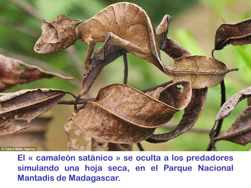 El « camaleón satánico » se oculta a los predadores simulando una hoja seca, en el Parque Nacional Mantadis de Madagascar.