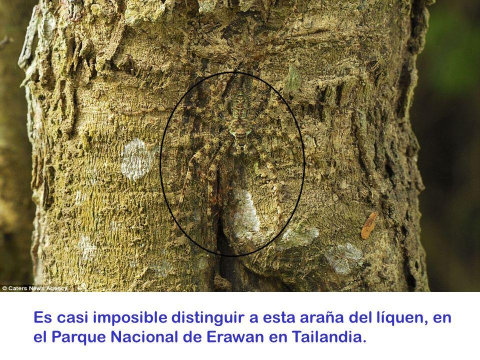Esta rana se oculta entre las hojas muertas, en el Parque Nacional Amacayacu de Colombia.