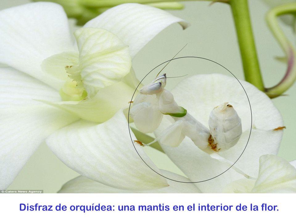Disfraz de orquídea: una mantis en el interior de la flor.