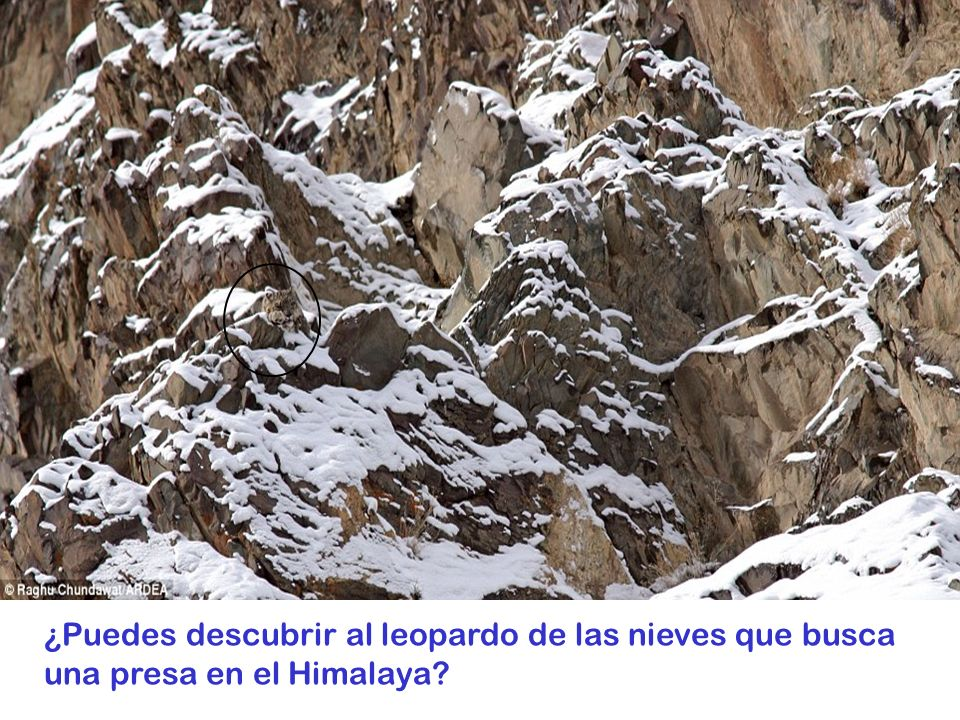 ¿Puedes descubrir al leopardo de las nieves que busca una presa en el Himalaya?