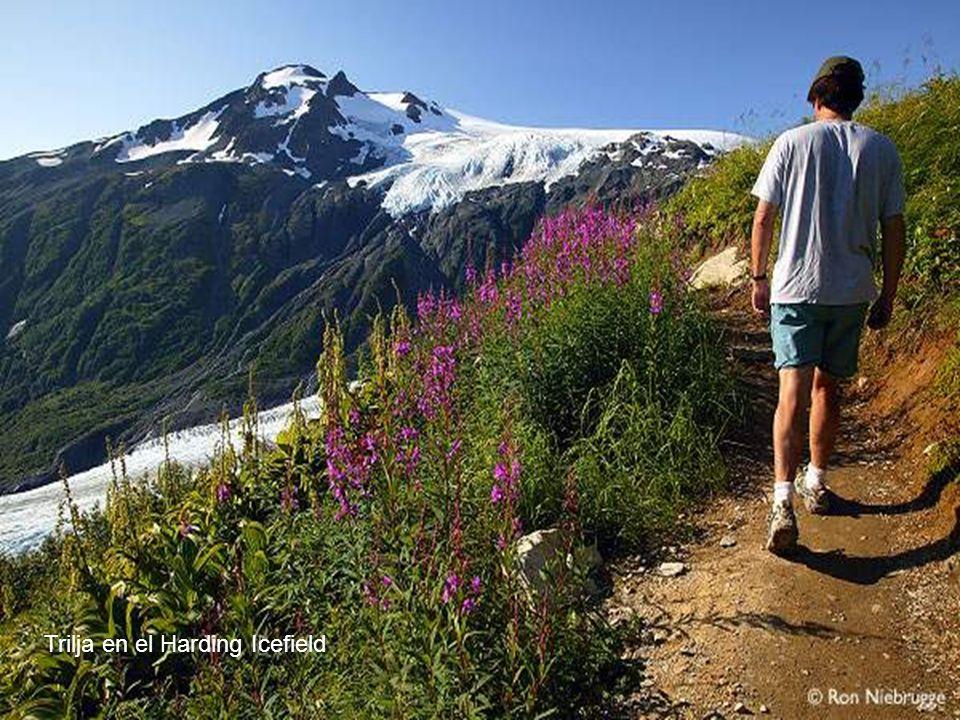El Parque Nacional de Kenai es el menor de los 8 parques nacionales de Alaska, pero en compensación es uno de los más bonitos y visitados.