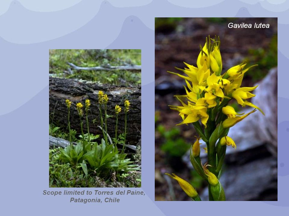 Scope limited to Torres del Paine, Patagonia, Chile Gavilea lutea