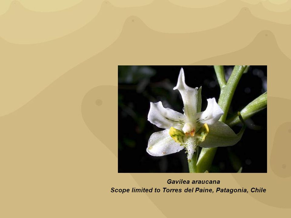 Gavilea araucana Scope limited to Torres del Paine, Patagonia, Chile