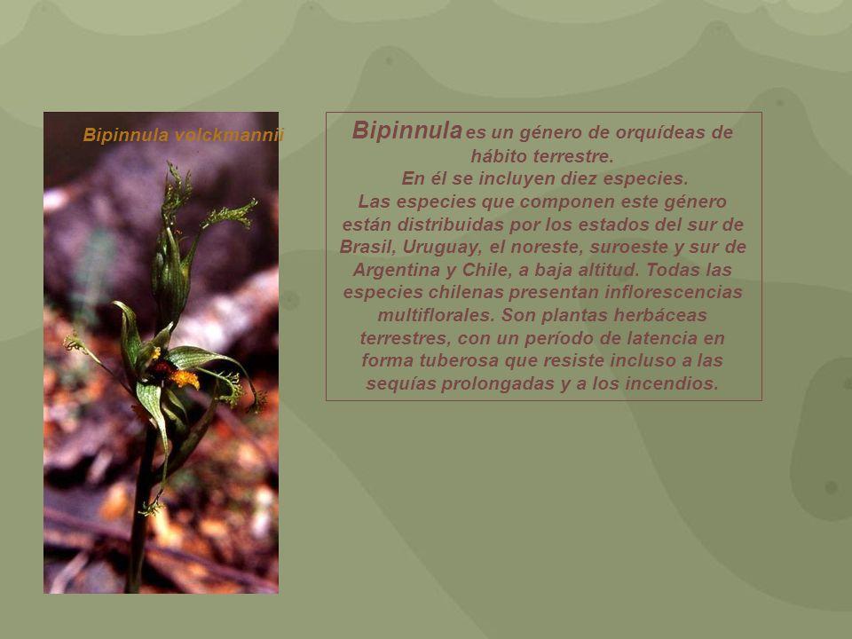 Bipinnula volckmannii Bipinnula es un género de orquídeas de hábito terrestre. En él se incluyen diez especies. Las especies que componen este género