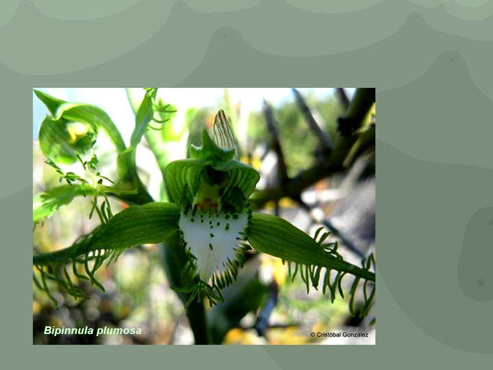 Bipinnula plumosa