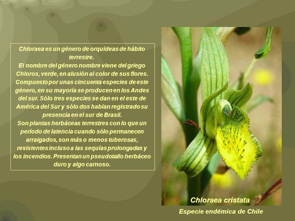 Chloraea cristata Chloraea es un género de orquídeas de hábito terrestre. El nombre del género nombre viene del griego Chloros, verde, en alusión al c